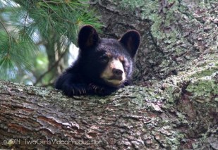 Baby bear, Black Mountain, NC