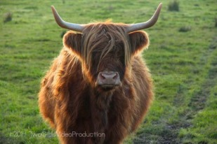 Highland Coo, Peterhead, Scotland, UK