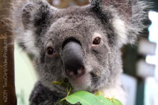 Here's looking at you, kid. Koala, Australia